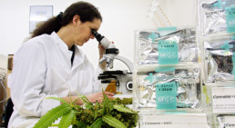 Researchers investigating medical cannabis
