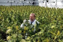 Legal cannabis UK