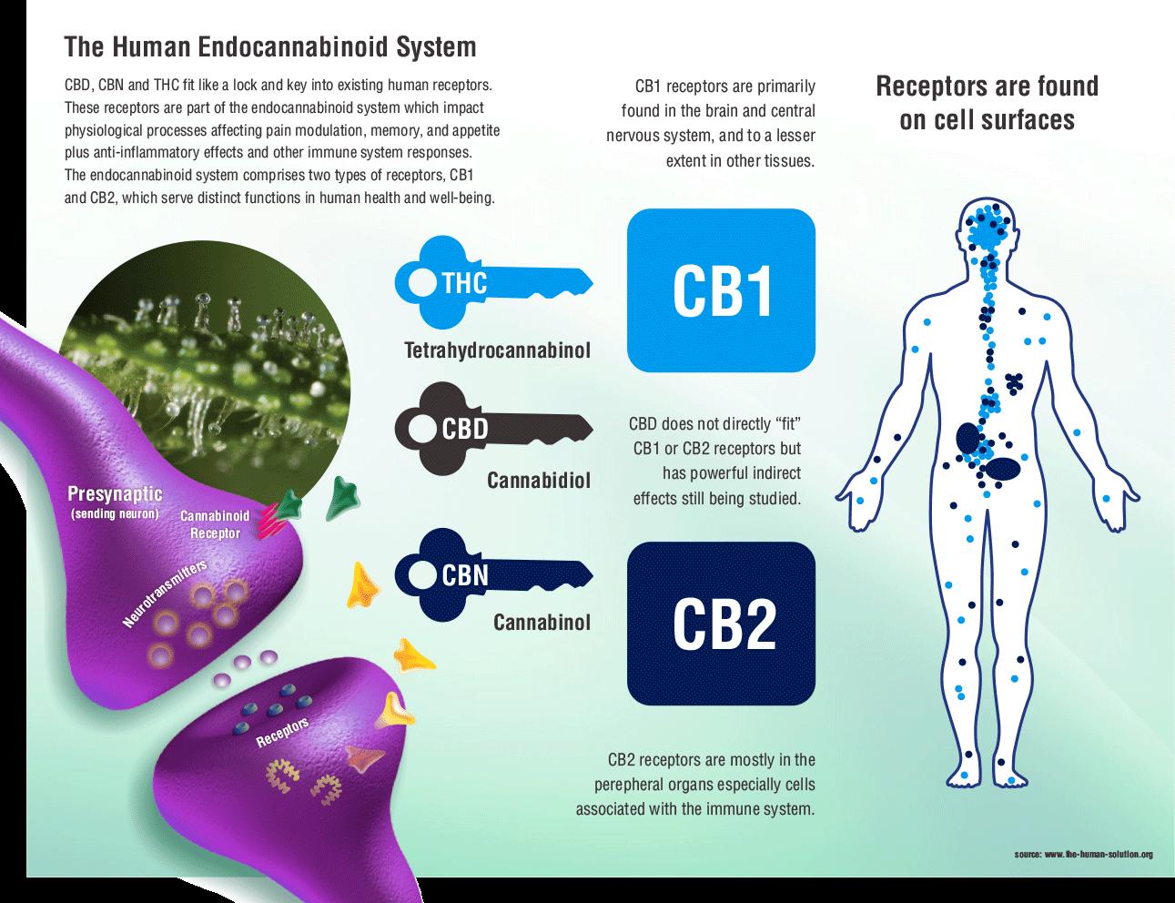 Medical cannabis Endocannabinoid system