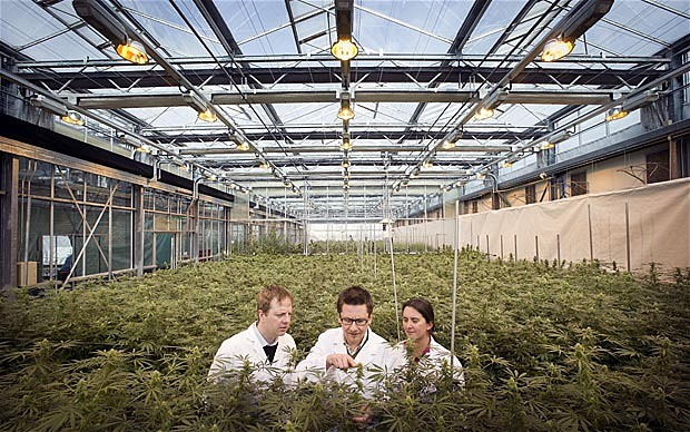 scientists in cannabis grow operatio