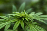 medical marijuana plant leaves