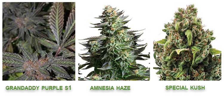 Linalool cannabis strains