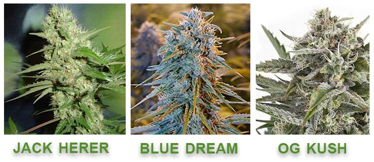 marijuana strains with lot of pinene