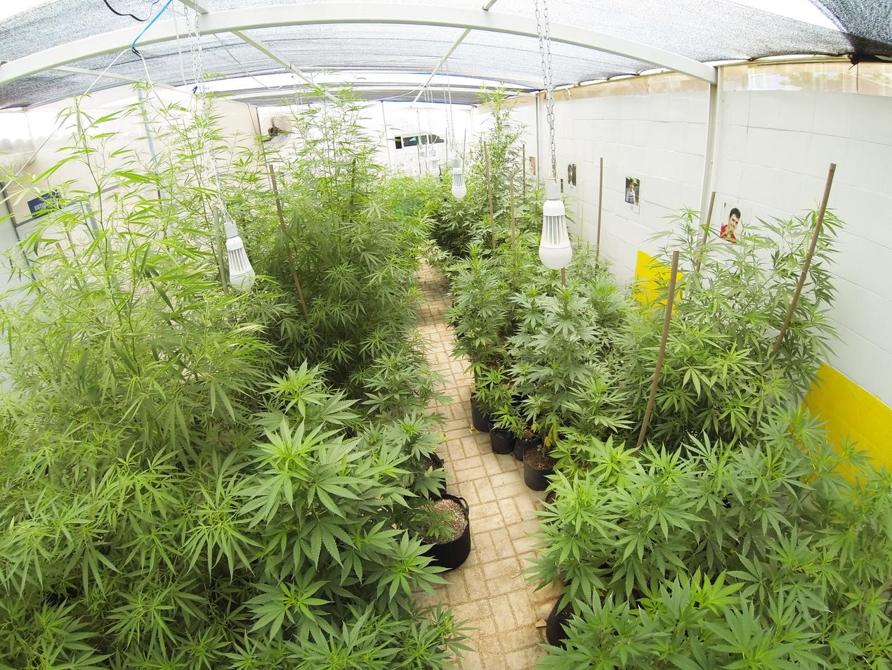 medical marijuana plants growing in Brazil