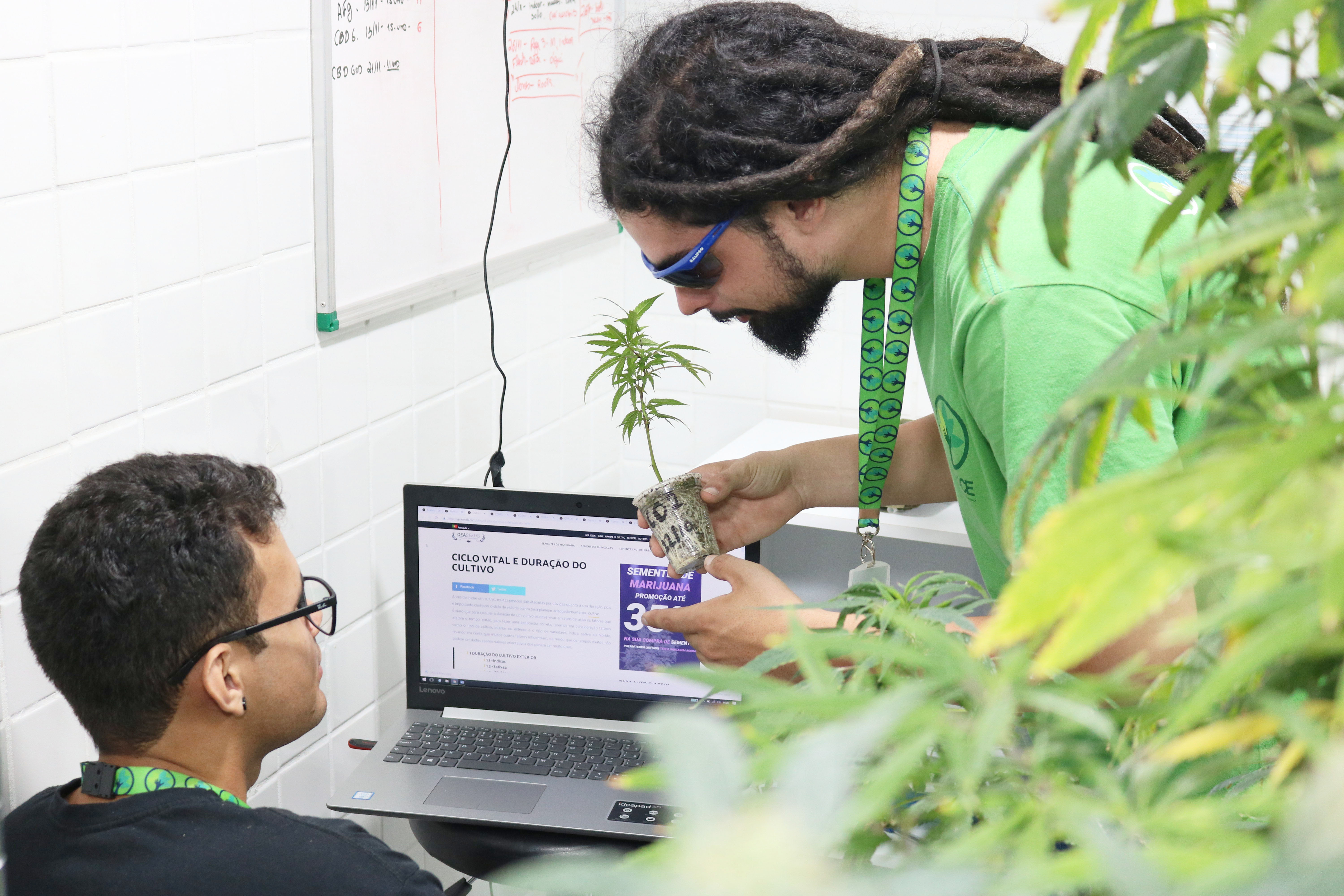 Medical cannabis plant seedling being looked at by scientists