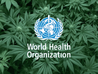 World Health Organisation with marijuana cannabis leaves