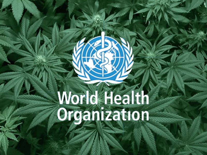 World Health Organisation with marijuana cannabis leaves