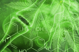 Cannabinoid chemical structure on cannabis leaf background with human endocannabinoid system