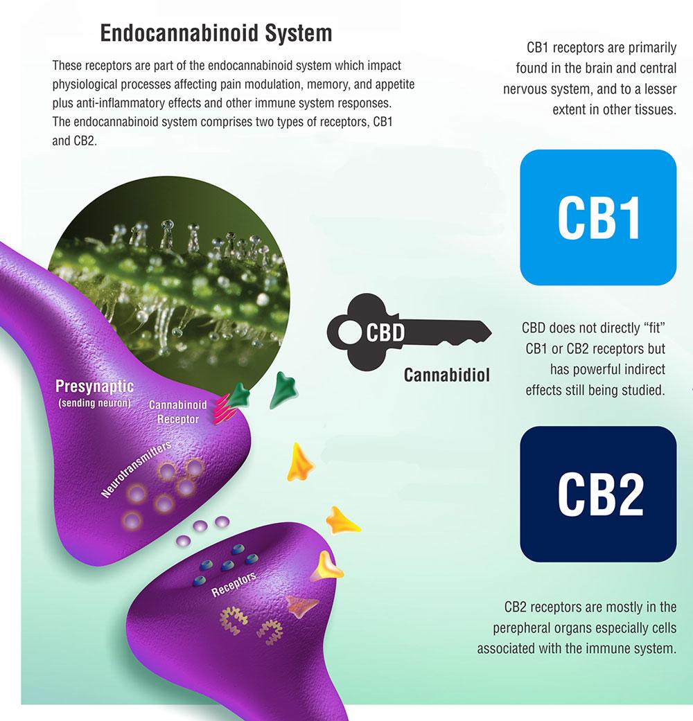 Infograph of cannabinoids and Endocannabinoids