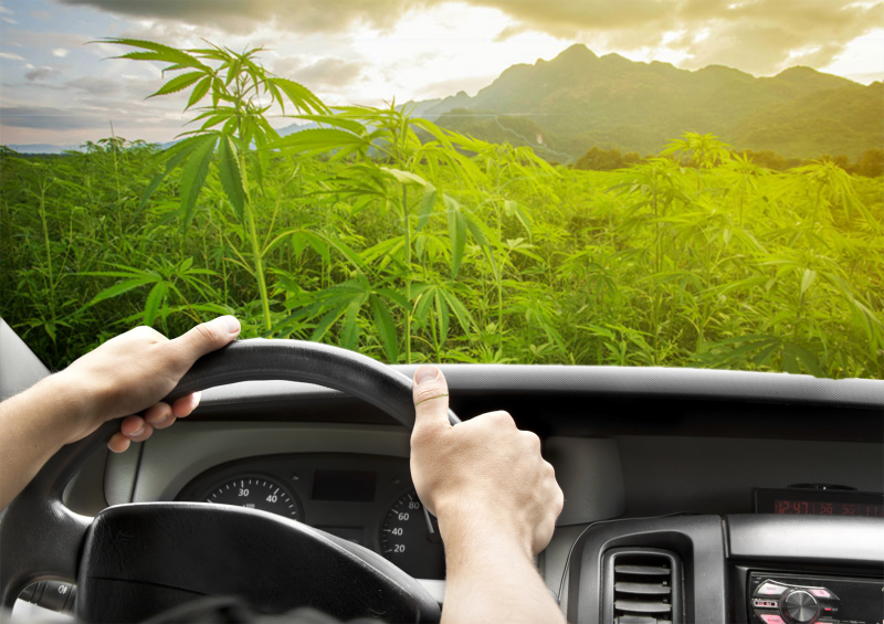 Driver hands on wheel cannabis plants in background