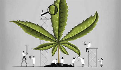 Cartoon researchers investigating large cannabis leaf