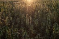 Sun setting over British hemp farm in oxfordshire, field of medical cannabis